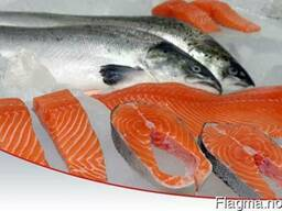 Fresh / Frozen Atlantic Norwegian Salmon Fish