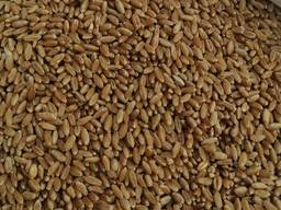 Selling 3000 tons of durum wheat.пшеницы