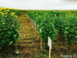 Семена Топинамбур - фото 1